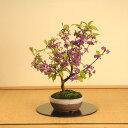 【敬老の日 プレゼント】中品盆栽:紫式部(信楽焼鉢)*【送料無料】