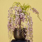 盆栽:一才藤(信楽焼白釉鉢)