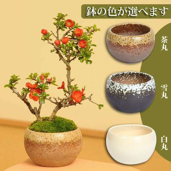 【即日出荷可!】小品盆栽:長寿梅(瀬戸焼小鉢)*【送料無料】鉢が選べる