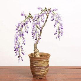 盆栽:一才藤(小・萬古焼深鉢)*【送料無料】【あす楽対応】【葉姿でお届け】
