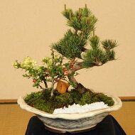 盆栽:五葉松・紅白長寿梅寄せD*【送料無料】【楽ギフ_包装】【楽ギフ_メッセ入力】