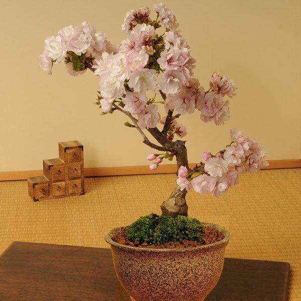 桜盆栽:八重桜(信楽焼伊羅保鉢)*【2018年葉姿でお届け】 【あす楽対応】