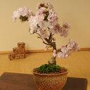 桜盆栽:八重桜(信楽焼伊羅保鉢)*【2019年春開花】 【あす楽対応】