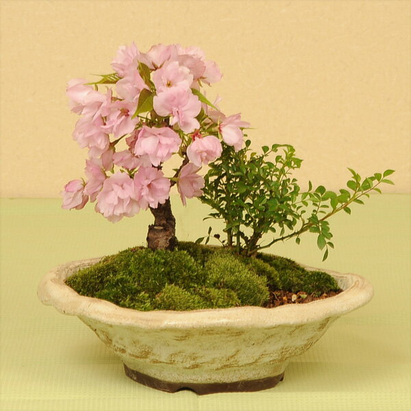 盆栽:桜・薔薇寄せ植え*【送料無料】【2019年春開花】