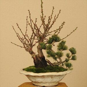 新春のオススメ盆栽:紅白梅・五葉松寄せ(信楽焼鉢)*【送料無料】