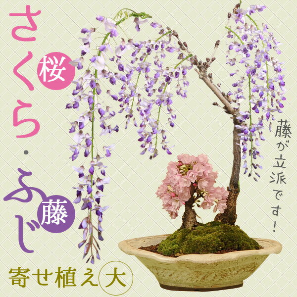 人気花物盆栽:桜・藤寄せ(大・瀬戸焼鉢)*【2019年春開花】 【送料無料】
