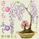 人気花物盆栽:桜・藤寄せ(大・瀬戸焼鉢)*【開花終了】 【送料無料】