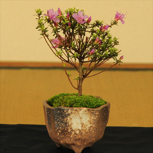 ミニ盆栽:米つつじ(信楽焼小鉢)*【送料無料】【あす楽対応】