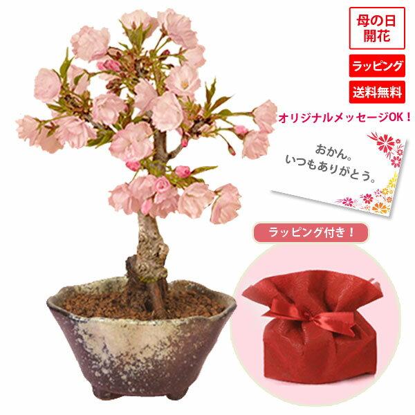 【母の日 プレゼント】◇楽天1位◇桜盆栽:鉢が選べる母の日開花桜* 【送料無料】【ラッピング付】【さくら盆栽】