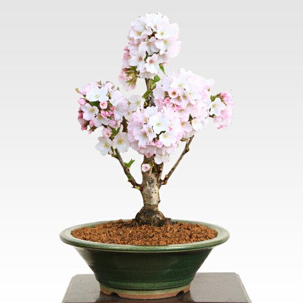 遅れてごめんね【母の日 プレゼント】桜盆栽:母の日開花御殿場桜* 【送料無料】【さくら盆栽】