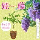 まだ間に合う 小品盆栽:母の日開花姫藤(萬古焼深鉢) *【送料無料】