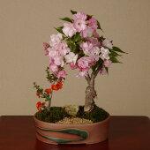盆栽:桜・長寿梅寄せ(瀬戸焼鉢)*【送料無料】