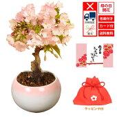 桜盆栽:鉢が選べる母の日開花桜