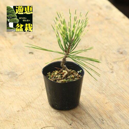 盆栽苗:ジャノメ赤松