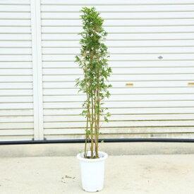 庭木・植木:鳳凰竹(ほうおう竹)ホウオウチク  樹高100cm