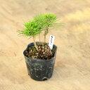 盆栽苗:松ぼっくり