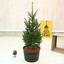 観葉植物:モミの木 クリスマスツリー*ウッド調プラ鉢 バークチップ