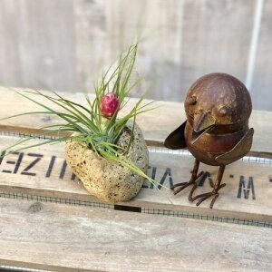 おしゃれ 観葉植物:チランジア ストリクタ 軽石 水苔*エアープランツ