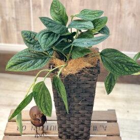 おしゃれ 観葉植物:モンステラ ジェイドシャトルコック*鉢カバー ココヤシ