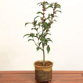小品盆栽:黒椿(信楽焼鉢)*【送料無料】【即日出荷可】