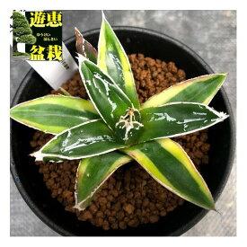多肉植物:アガベ 輝山(きざん)*S 幅8cm
