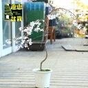 苗・庭木:しだれ富士桜