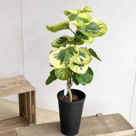観葉植物:ポリシャス・フリスビー きらめき*