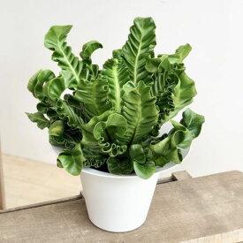 観葉植物:アスプレニウム コブラ*9号 プラポット