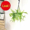観葉植物:リプサリス ミクランサ*吊り鉢