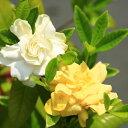 庭木苗・苗:くちなし(クチナシ)黄色八重 樹高30cm 白色〜黄色に色変化が楽しめる!