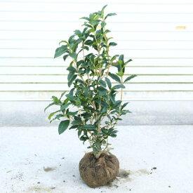 庭木・植木:かわいいキンモクセイ(金木犀)  樹高70cm*