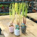 庭木・グラス・植木:パンパスグラス(シロガネヨシ) 各種お選びください。 切り花でも重宝される葦の仲間!