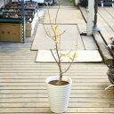 送料無料 庭木・植木 鉢植え:満月ロウバイ*(満月ろうばい)全高:100cm 玄関やベランダでも置ける丈夫な陶器鉢植え