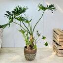 観葉植物:フィロデンドロン  セローム* 大型佐川急便
