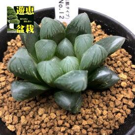 多肉植物:ハオルチア オブツーサ 黒肌タイプ No.12*幅5cm