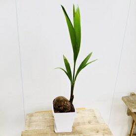 観葉植物:ココヤシ 鉢植え*受皿付