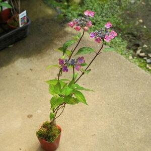 鉢花 庭木苗・植木苗:山アジサイ(やまあじさい)(紫紅梅)しこうばい*お花は終了しました。