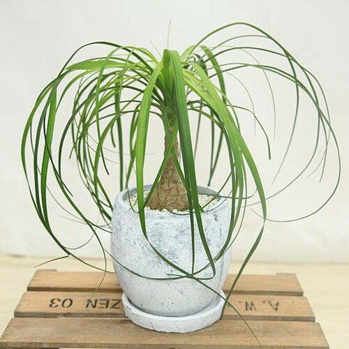 観葉植物:トックリラン ポニーテール*ロキシーボールL 受皿付 白ゼオライト