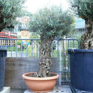 シンボルツリー・庭木:オリーブの木 3番 古代オリーブ 現品限り!