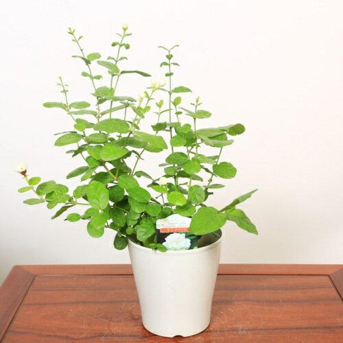 鉢花:八重マツリカ*茉莉花 ジャスミン