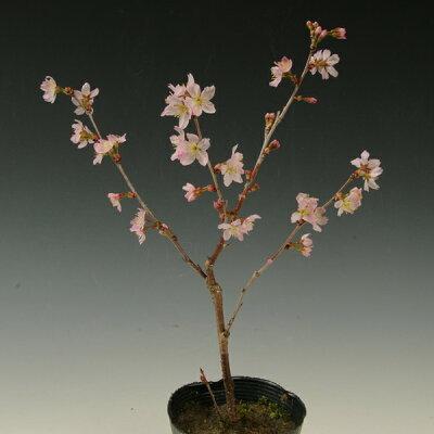 苗:啓翁桜