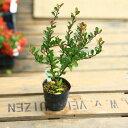 観葉植物:ハートの成る木(ハートツリー)*はりつるまさき