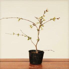 苗:富士桜(媛)盆栽に最適な桜の苗木