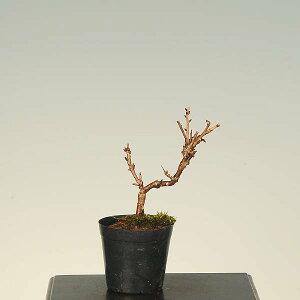 苗:富士桜(おしどり)*(牡丹咲き)盆栽に最適な桜の苗木g1172