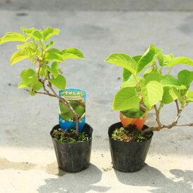 品種選べる苗:サルナシ*ジャンボサルナシ(大実)もしくは 一才サルナシ