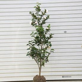 庭木:サザンカ(さざんか)朝倉 *樹高約100cm 全高約120cm
