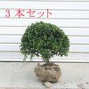 送料無料!庭木:マメツゲ(玉作り)3本セット*【お得】 ☆当店人気トップクラスの商品です!
