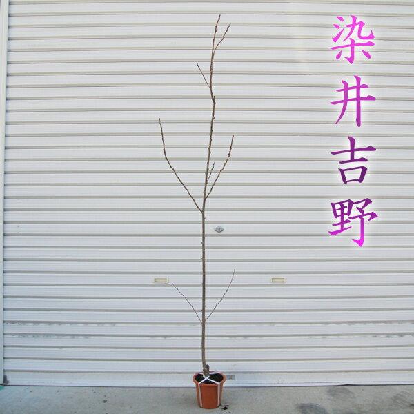 送料無料!! 庭木:桜・染井吉野(ポット)*【さくら サクラ ソメイヨシノ】 樹高:約100−120cm