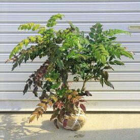 庭木:柊南天(ヒイラギナンテン)