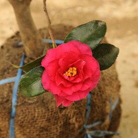 庭木:寒椿 獅子頭 サザンカ/かんつばき